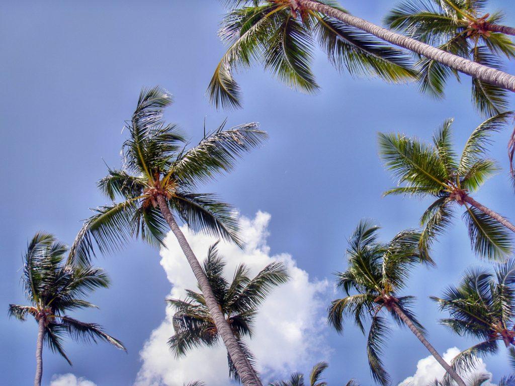 Dominikanische Republik - Palmen