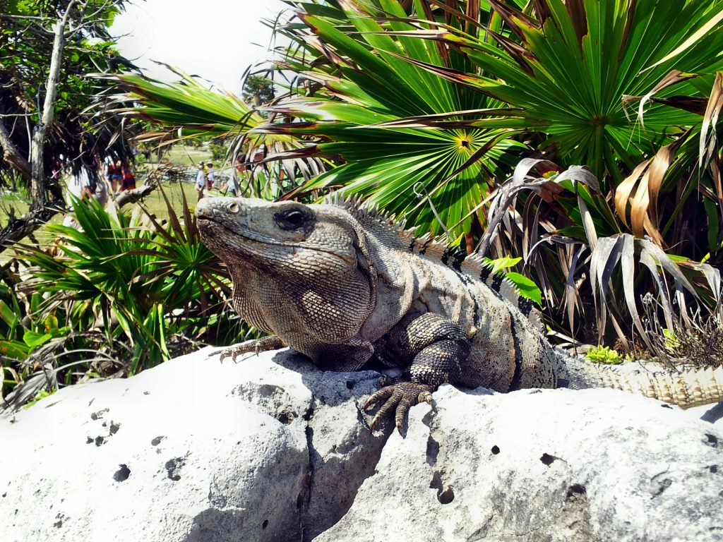 Mexiko Leguan